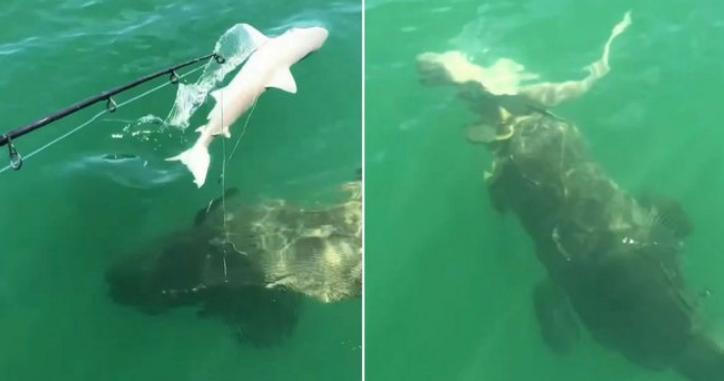 美國一名57歲的船長約翰(John Brossard)與他的船員們在佛羅里達州目睹了巨石斑魚一口吃掉鯊魚的時刻。(圖/取自@pennewsagency推特)