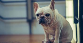 距離257公里,失蹤半年的鬥牛犬終於被找到了!(圖/翻攝自免費圖庫pixabay/示意圖,非本文提及動物)