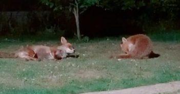 被一家人取名叫Fox Lady的野生狐狸常跑到後院撒野。(圖/翻攝自「@foxes.and.the.hound」TikTok)