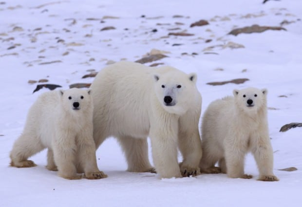 Image for How well do you know the Polar Bear?