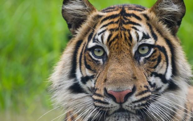 Image for Saving the Sumatran tiger