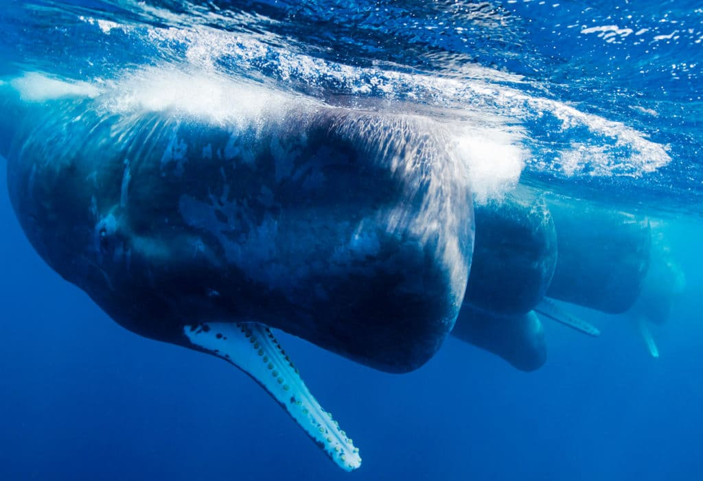 Image for International Whaling Commission meeting 2016 – what to expect.