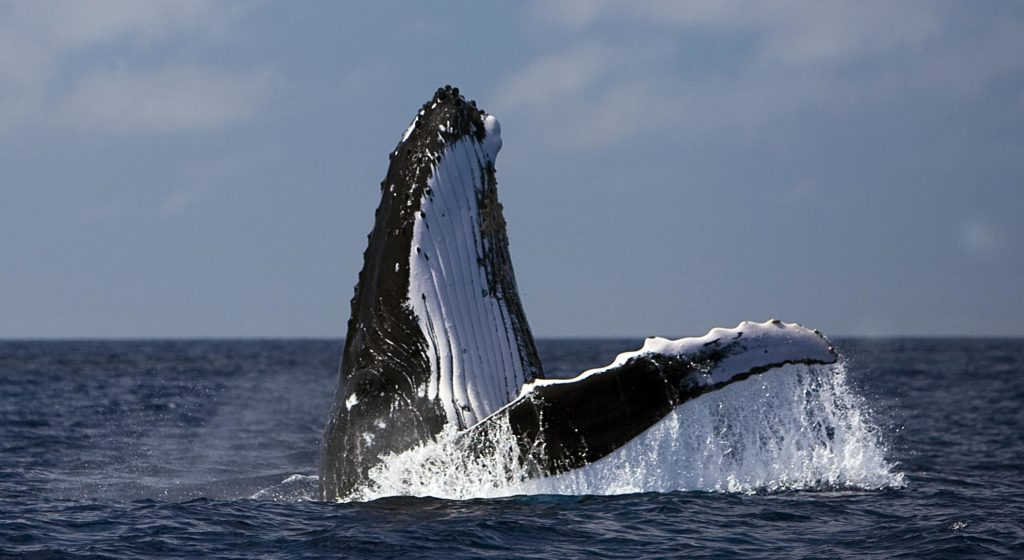 Image for Why the South Atlantic should be a sanctuary for whales.
