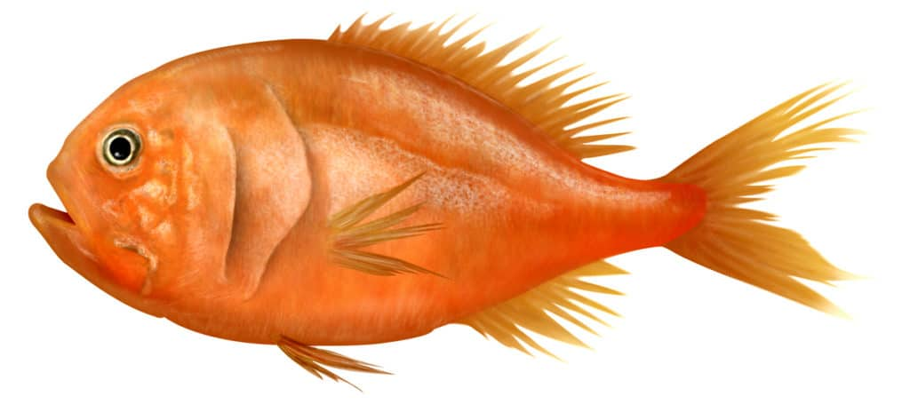Image for Orange roughy – a 'sustainable' fish certification too far.