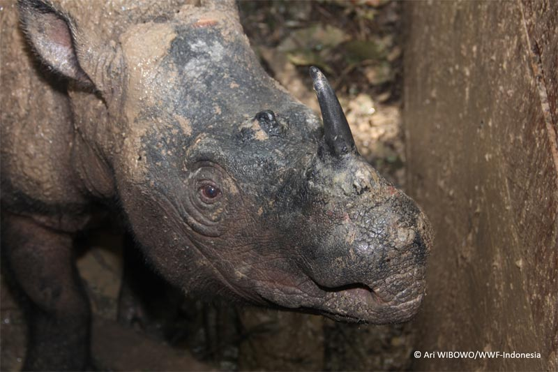 Image for Sumatran rhino found while forest habitat is lost