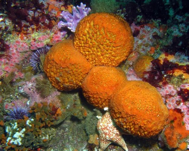 Orange sea sponge