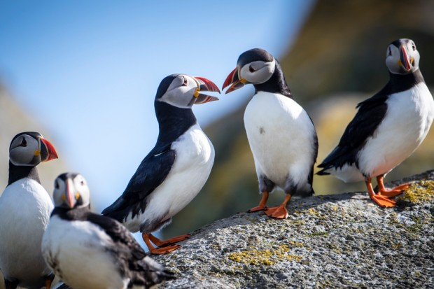 Puffins on the Shiant Isles.