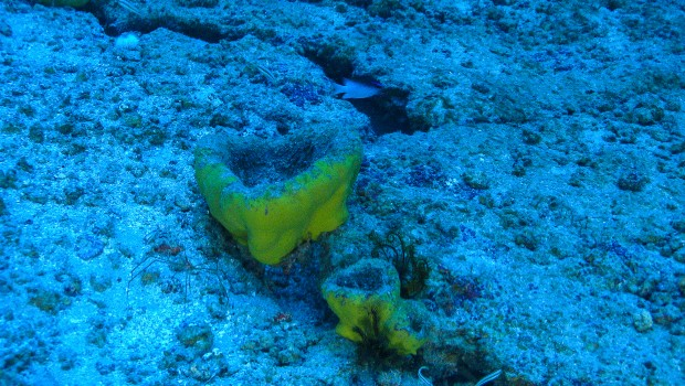 Blue and yellow sea sponge on ocean floor