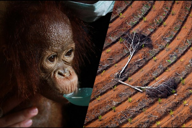 Image for 10 shocking facts showing how companies are still trashing Indonesia's rainforests