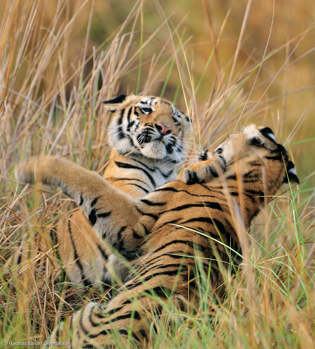 Celebrate Global Tiger Day by marvelling at incredibly rare wild tigers