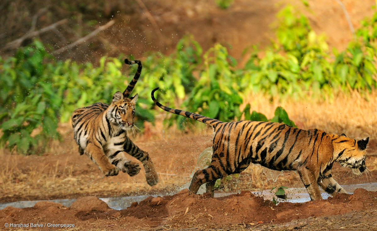 Image for In Pictures: It's International Tiger Day!
