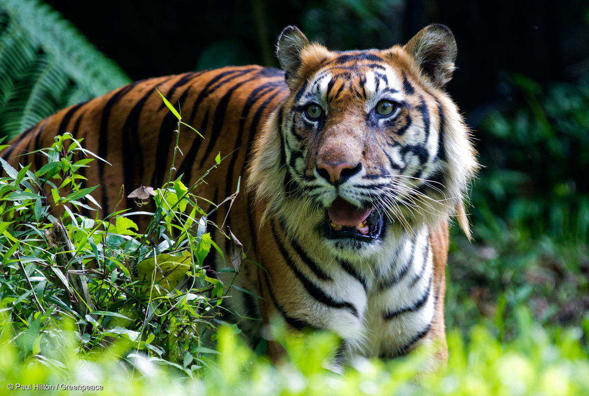 WWF marks 'Global Tiger Day' with rare video of tigers in Bhutan
