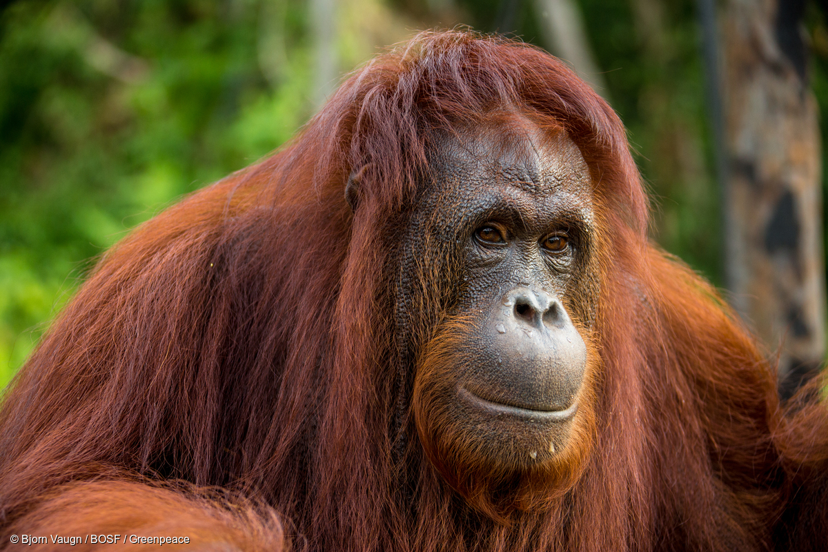 Image for In pictures:  The orangutan, man of the woods, on International Orangutan Day 2017