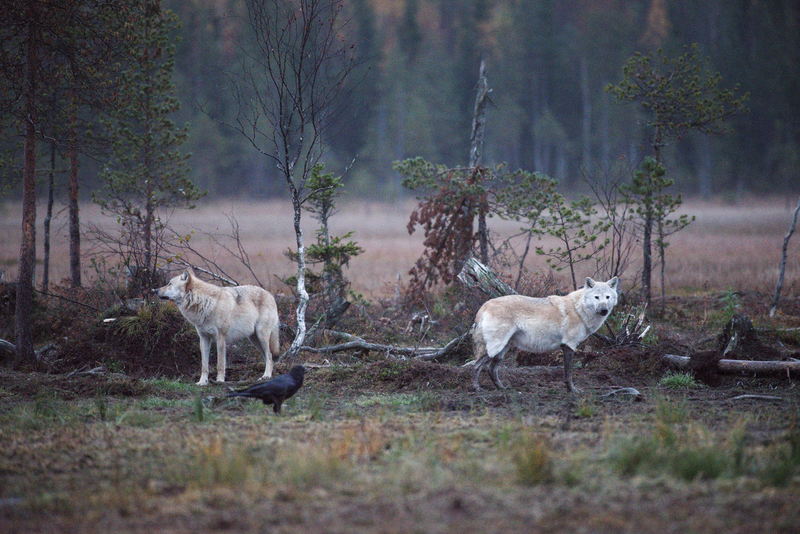 Wolves in Swedish forest.