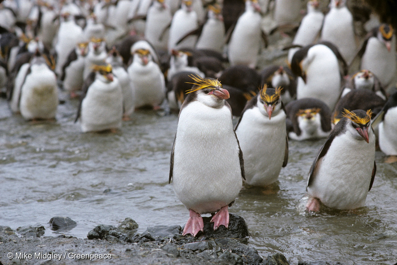 Macaroni penguins, Macquarie Island.