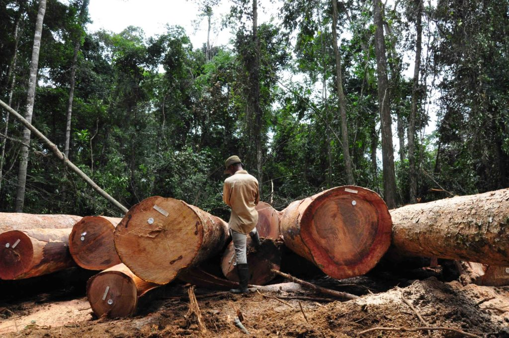 A man stands between cut down tree trunks lying on the ground in a Liberian forest.