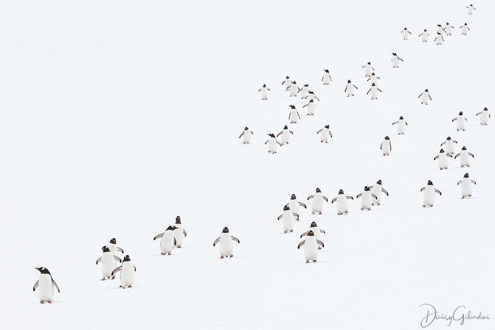 Gentoo penguins walk scattered about a snowy landscape