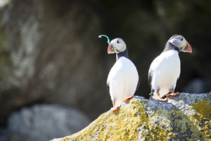 Puffins with plastic pollution on the Shiant Isles in Scotland