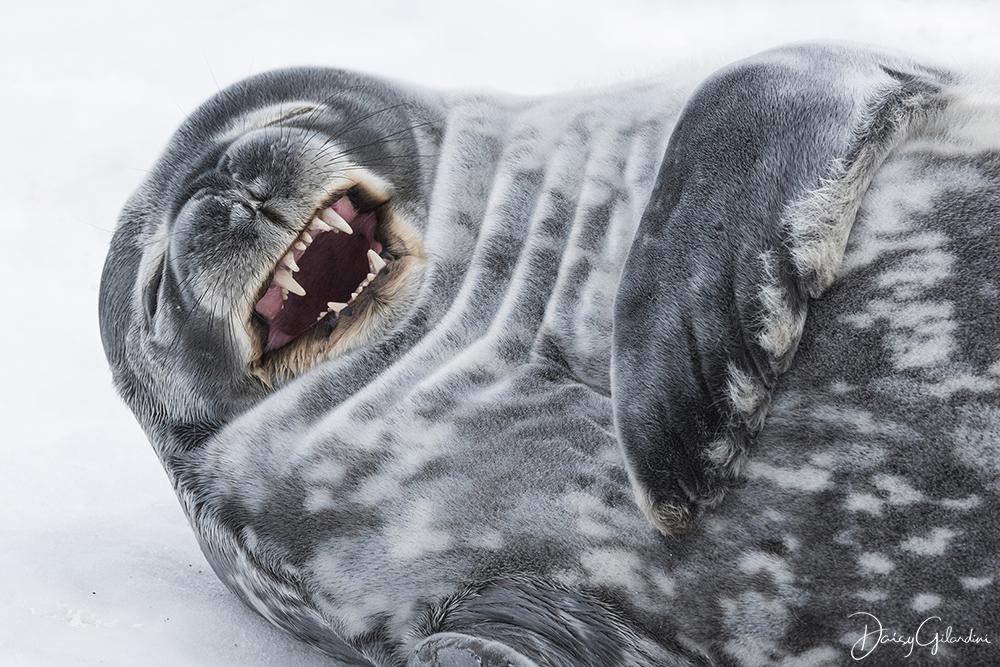 A Weddell seal yawning