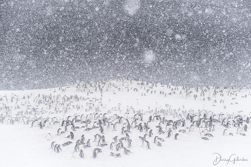 Gentoo penguin colony in snow storm