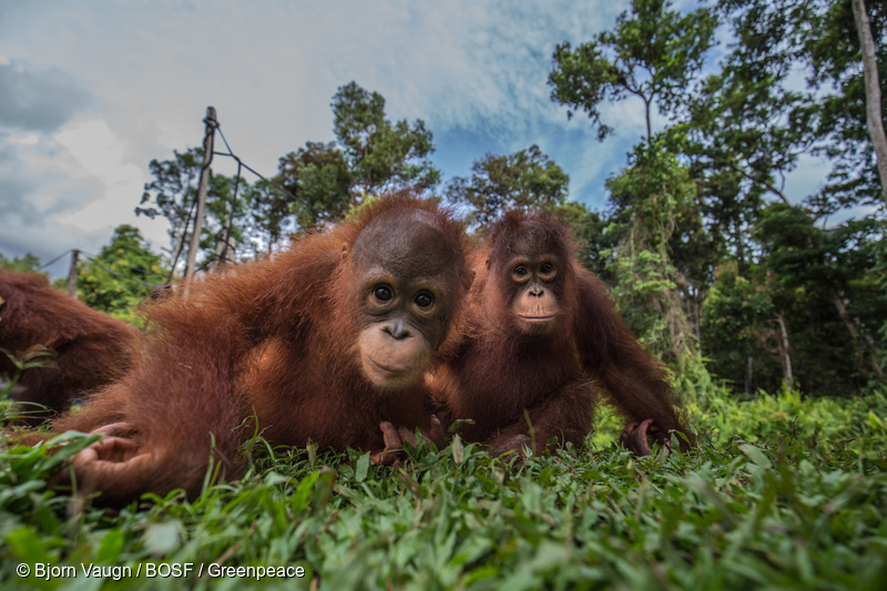 Image for World Orangutan Day – 10 furry facts