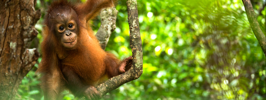 Image for Saving Indonesia's rainforests
