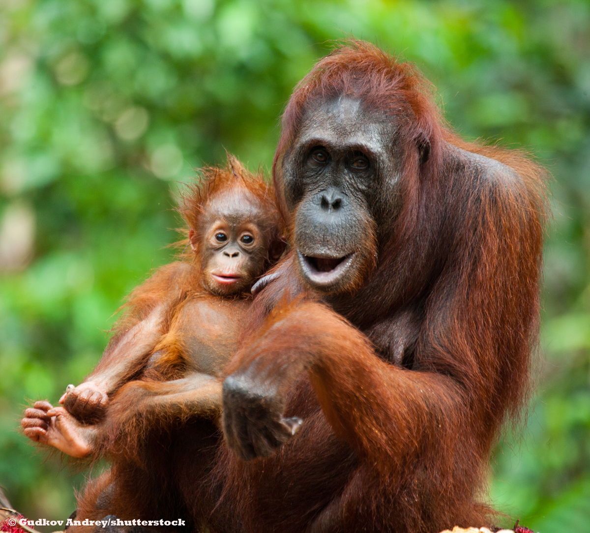 "Image for Emma Thompson: ""If we want to save orangutans from extinction we need to save their home"""
