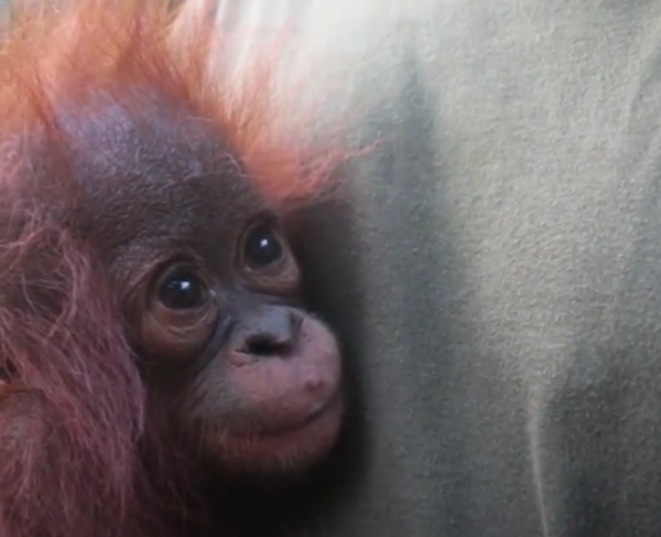Image for Real-life Rang-tan: baby orangutan found crying and alone