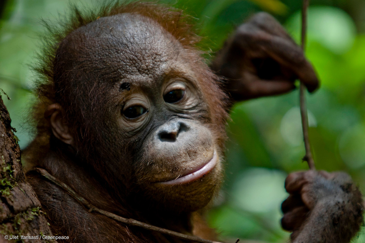Image for In pictures: orangutans threatened by deforestation linked to the makers of Oreo