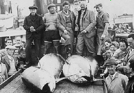 Giant tuna were plentiful on the Dogger bank on the 1950s