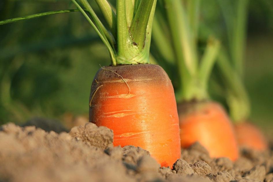 Carrot in  field