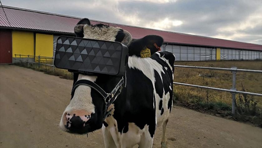 v-rusku-zkousi-vr-pro-kravy
