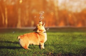 Corgi dog playing with bubbles