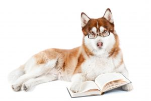 Siberian husky with glasses reading a book