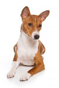 Basenjidog sits