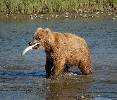 Bear with a fish in its mouth in Alaska