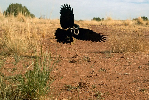 Chihuahuan Raven (Corvus cryptoleucus) catching snake, Sevilleta, United States.