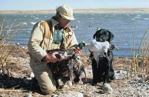 Duck hunter with lab & 3 mallards