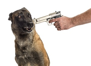 Gun pointed at a scared Belgian Shepherd's head