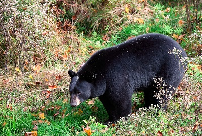 American Black Bear Walking Through Shrubs and Grass