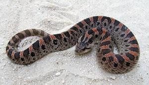 H_Simus snake