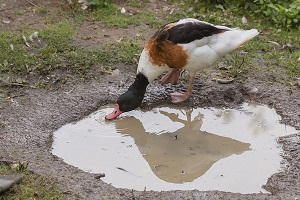 duck drinking from a puddle