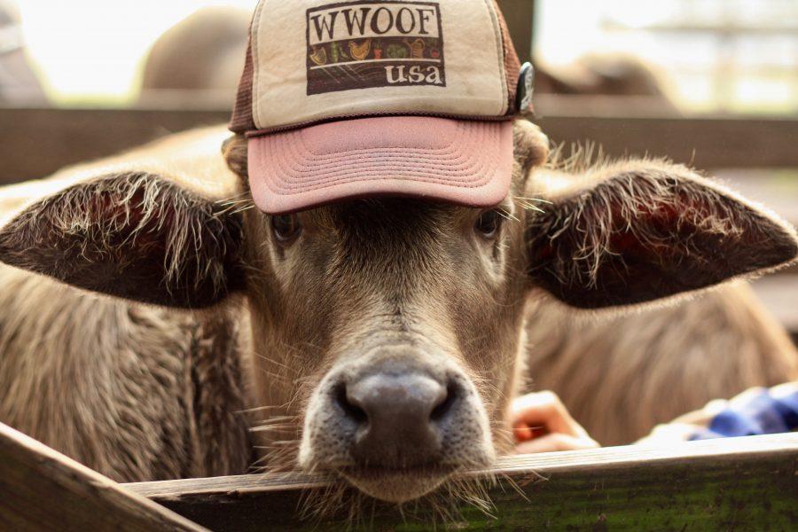 Cow on Eco Farm