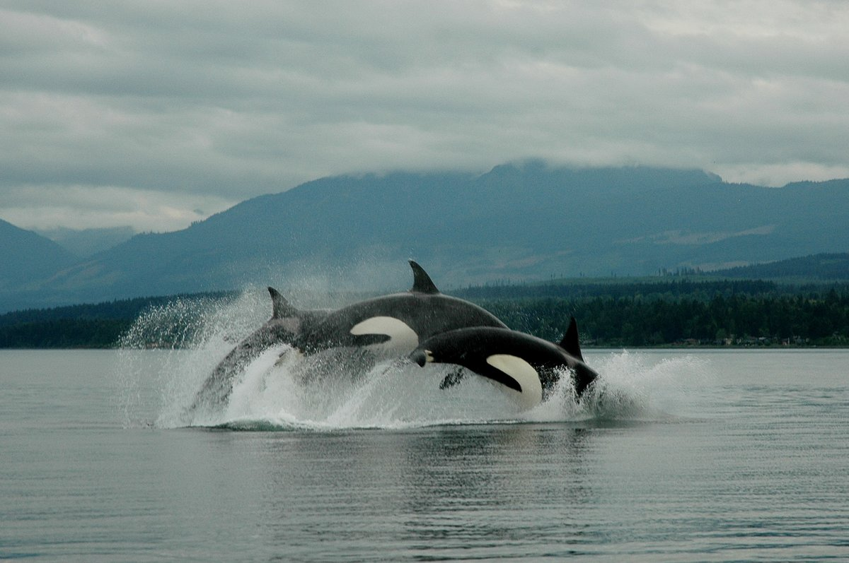 Orcas jumping out of the water