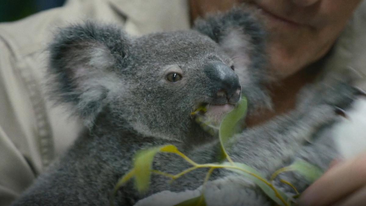 Koala_Thumbnail