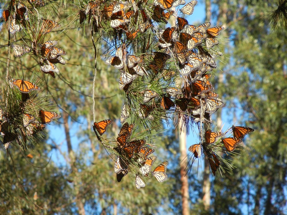 Monarch butterflies rest on trees in the sun during the winter in California.