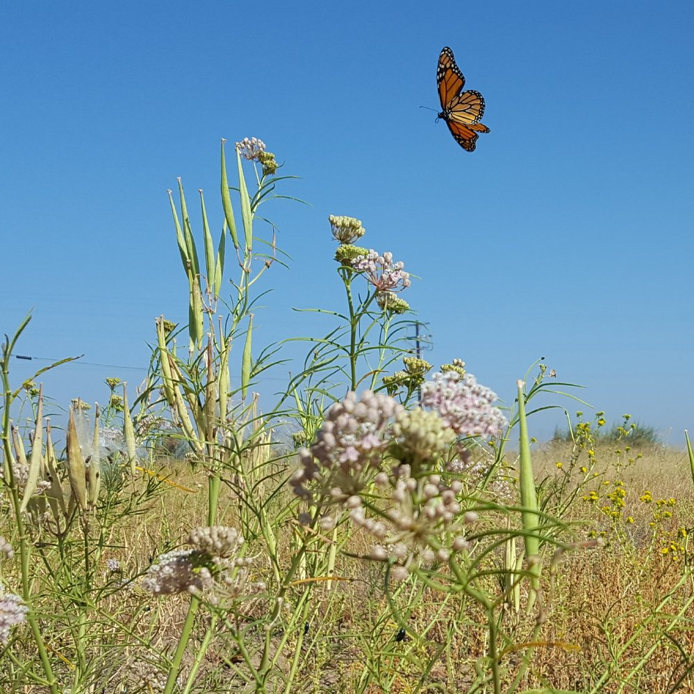 Image of a monarch butterfly, flying over a green plant with a blue sky in the background.
