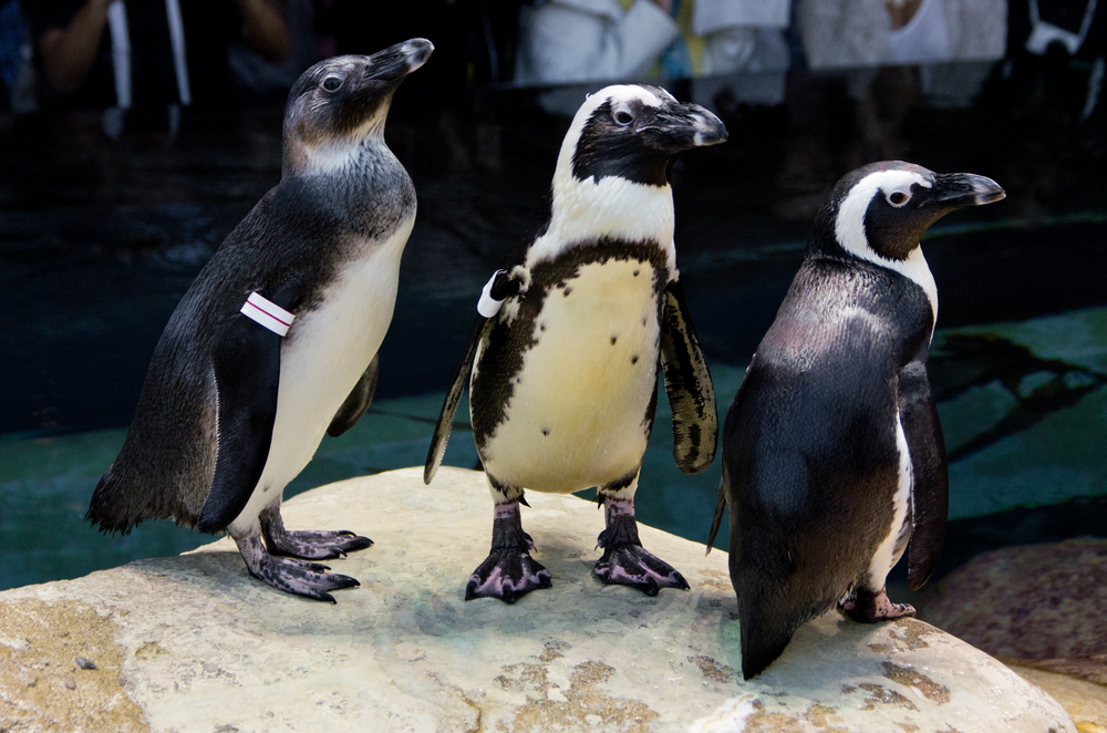 Three endangered African Penguins on exhibit at the California Academy of Sciences. The penguin on the left is a juvenile hatched at the Academy as a part of the Association of Zoo and Aquarium Species Survival Plan.
