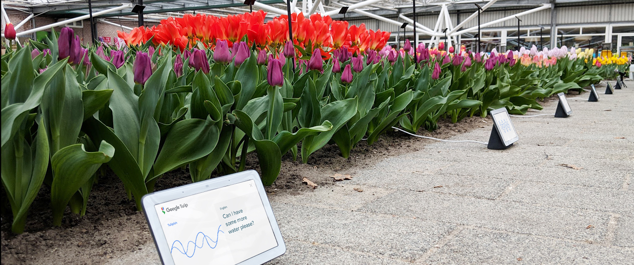 Grown in the Netherlands, Google Tulip communicates with plants