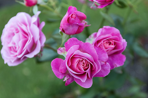 Images shows pink roses.